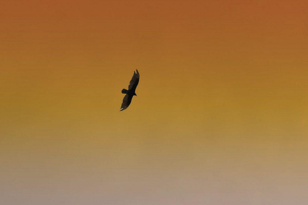 Zabjelski soko (FOTO)
